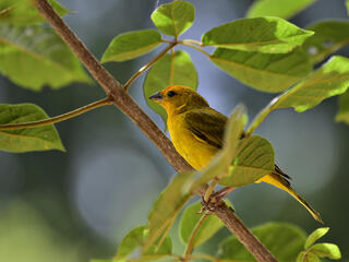 Saffron finch in tree, Atlantic Forest, Brazil