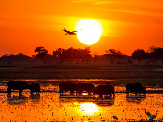 Silhouette of an African buffalos standing and a Marabou stork flying in a bright orange sunset.