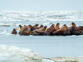 A herd of walruses (Odobenus rosmarus) on an ice floe. Svalbard, Norway.