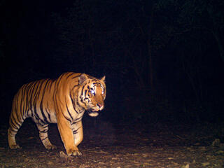 Tiger walking across a camera trap at night
