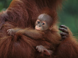 Sumatran Orang utan mother holds baby who looks at the camera, Sumatra