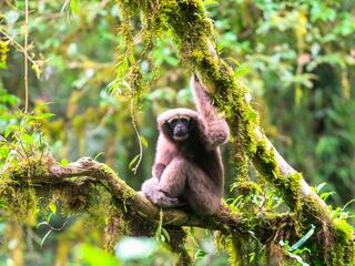 Skywalker hoolock gibbon sits on a mossy tree branch looking at the camera