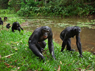 A group of bonobos walk along the edge of a lake in tall grass