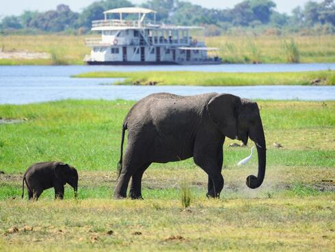 A mother elephant and calf walk in front of a river with a white boat in the background