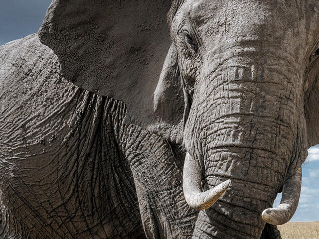 Large elephant makes eye contact with the camera