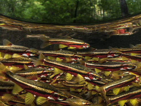 School of Tennessee dace fish swim in Hiwassee River, Tennessee