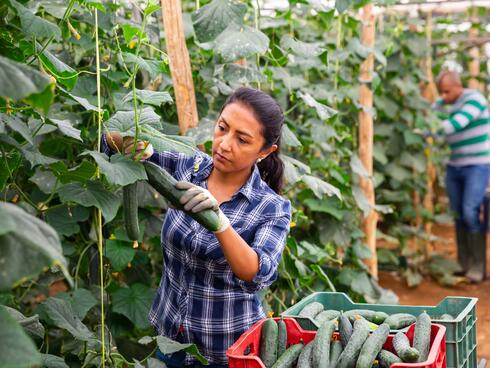 A woman with brown hair in a plaid shirt picks a cucumber growing in a greenhouse