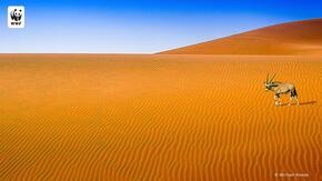 Antelope in desert