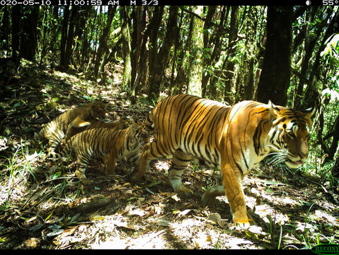 A large female tiger walks through the jungle followed by her three small cubs
