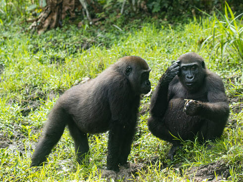 Two small juvenile twin gorillas in the grass interacting with each other