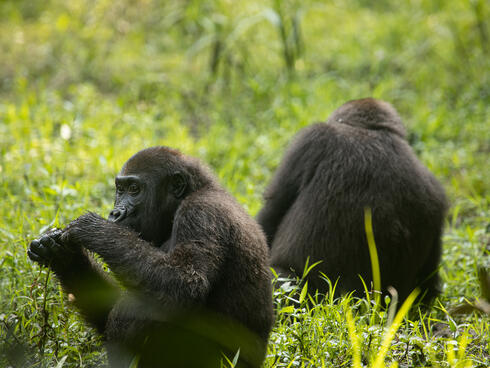 Two juvenile gorilla twins sit in the grass, one has his back to the camera
