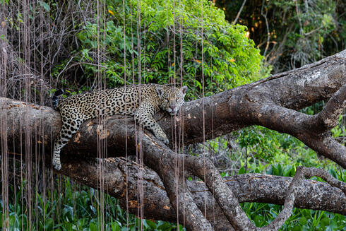 An adult jaguar laying on a thick brown tree branch in the jungle with green foliage in the background and brown reeds hanging in front