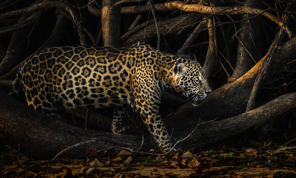 A side view of an adult jaguar walking in front of large tangled tree branches