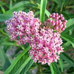 Pink milkweed