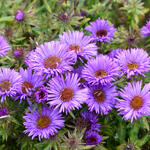 cluster of Aster novae-angliae or Purple Dome