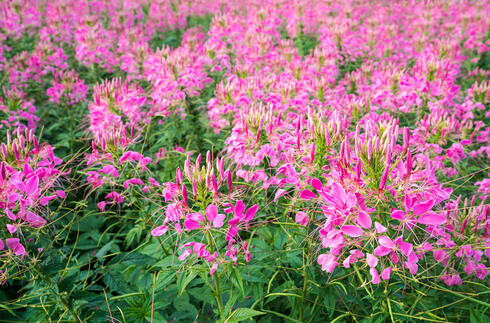 Pink Rocky Mountain BeePlant, stinking-clover blooming on a day at farm (Cleome serrulata)