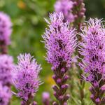 Liatris spicata flowers closeup