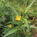 Ludiwgia octovalis flowers