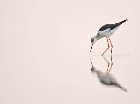 Black-winged stilt, (Himantopus himantopus), standing in water with reflection at the Nansha wetland reserve, Guangdong province, China