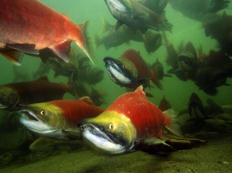 Sockeye salmons (Oncorhynchus nerka), adults migrating up the Adams River to spawn. B.C. Canada