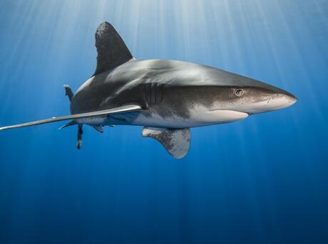 Oceanic whitetip shark (Carcharhinus longimanus).