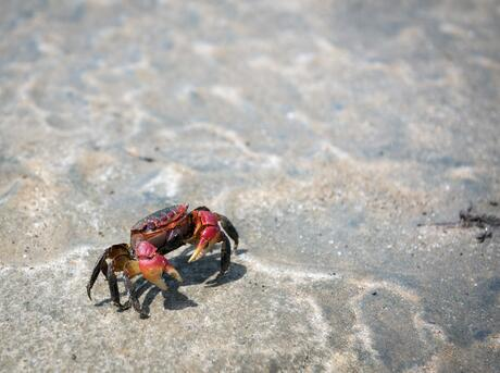 Crab, Antsatrana in Ambaro Bay, Ambilobe, Madagascar.