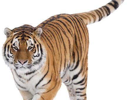 Siberian tiger (Panthera tigris altaica) walking in snow, captive.