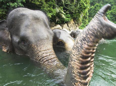 Sumatran forest elephant (Elephas maximus sumatrensis) bathing, Gunung Leseur NP, Sumatra, Indonesia.