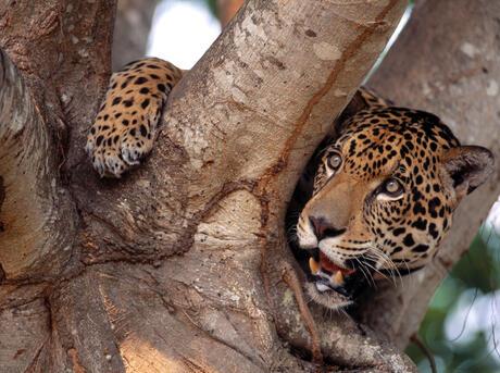 Captive Jaguar (Panthera onca), Pantanal, Brazil.
