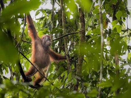 Close up of Bornean orang-utan (Pongo pygmaeus). Danum Valley. Borneo, Malaysia.