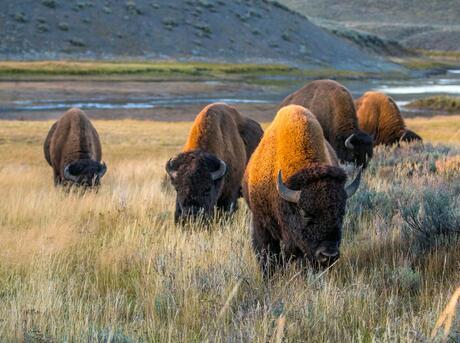Plains bison (Bison bison bison) in Yellowston National Park, United States.