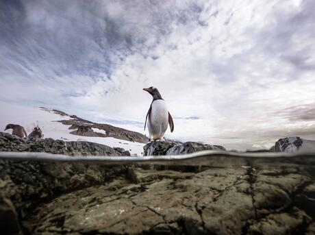 A gentoo penguin stands on a rock surveying for potential dangers before diving in and spending the day at sea in search of food.