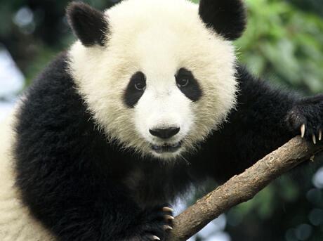Ailuropoda melanoleuca Giant panda Chengdu Breeding Centre Chengdu, Sichuan Province, China.