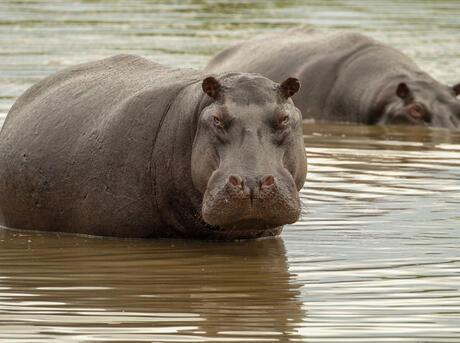 Hippopotamus (Hippopotamus amphibius) in the Qorokwe concession, Okavango Delta, Botswana.