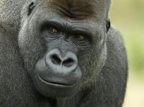 Head portrait of male silverback Western lowland gorilla (Gorilla gorilla gorilla) UK.
