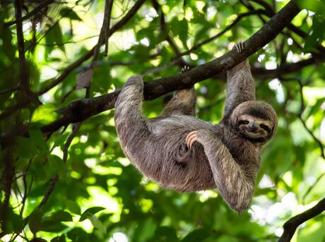 Cute sloth hanging on tree branch with funny face look.