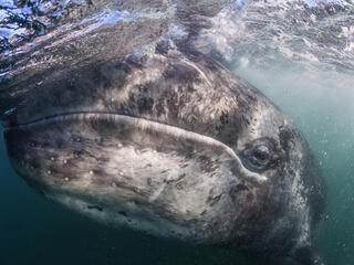 A close-up of a gray whale underwater but near the surface