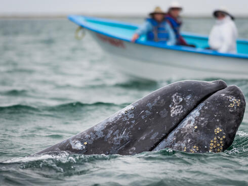 A gray whale surfaces as people in a boat in the background look on