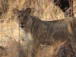 A close up look at an adult lioness standing behind tall tan grasses