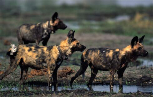Side view of three African wild dogs all standing on muddy ground, two wearing tracking collars around their necks