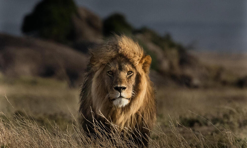 Portrait of a large male lion standing in tall tan grass