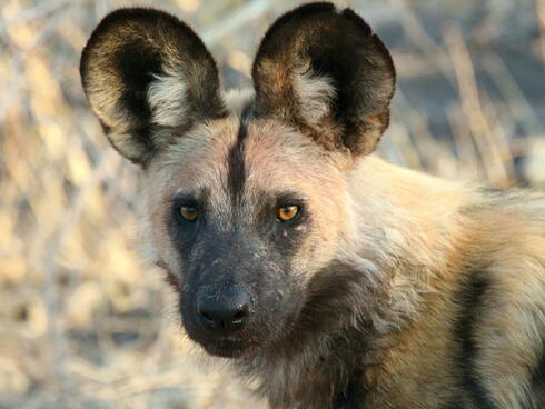 Close up portrait of an African wild dog
