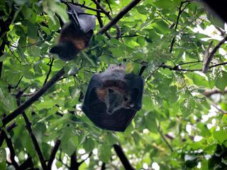 Two flying foxes hang upside down in the treetops, one looking at the camera