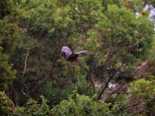 A flying fox mid-flight gliding between treetops in a leafy forest