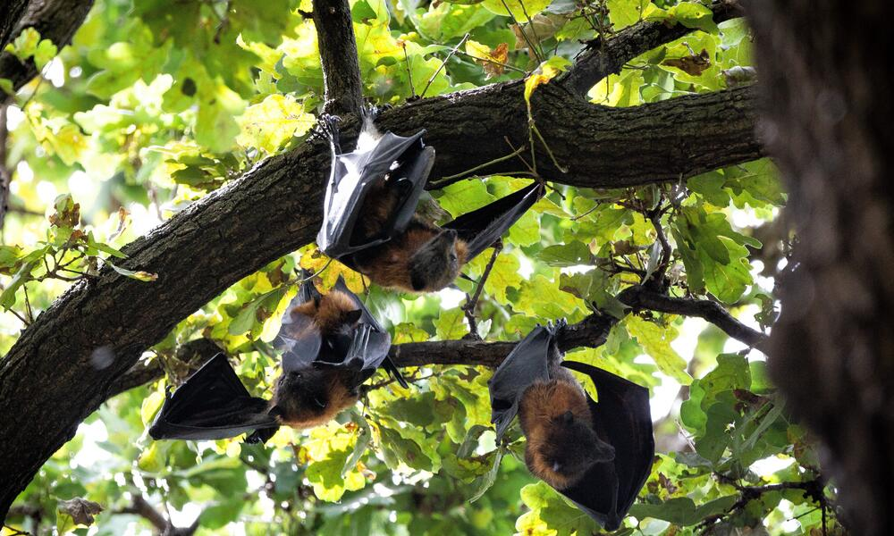 A group of flying foxes hanging from the treetops seen from below
