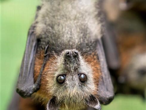 Closeup of a juvenile flying fox hanging upside down