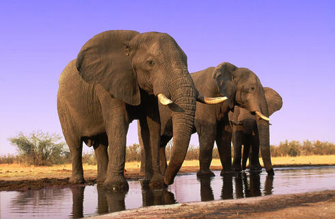 African elephant bulls drinking at waterhole