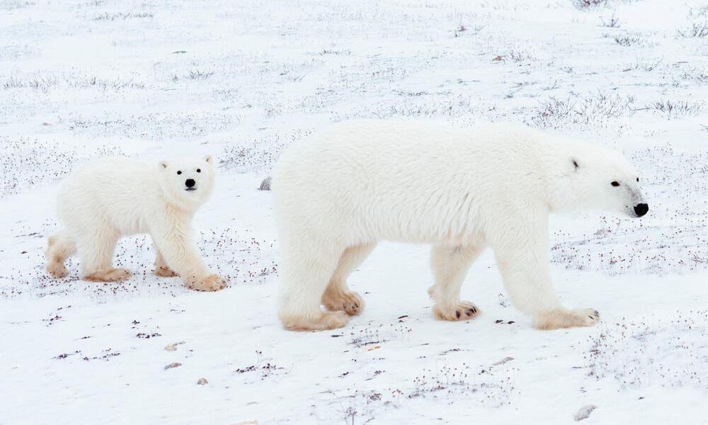 Polar bear female followed by cub
