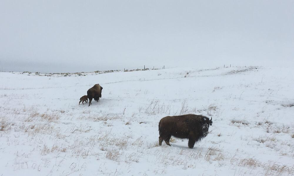 A bison cow and calf stand in a snowy plain