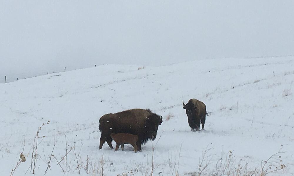 Bison cow and calf standing in a snowy plain